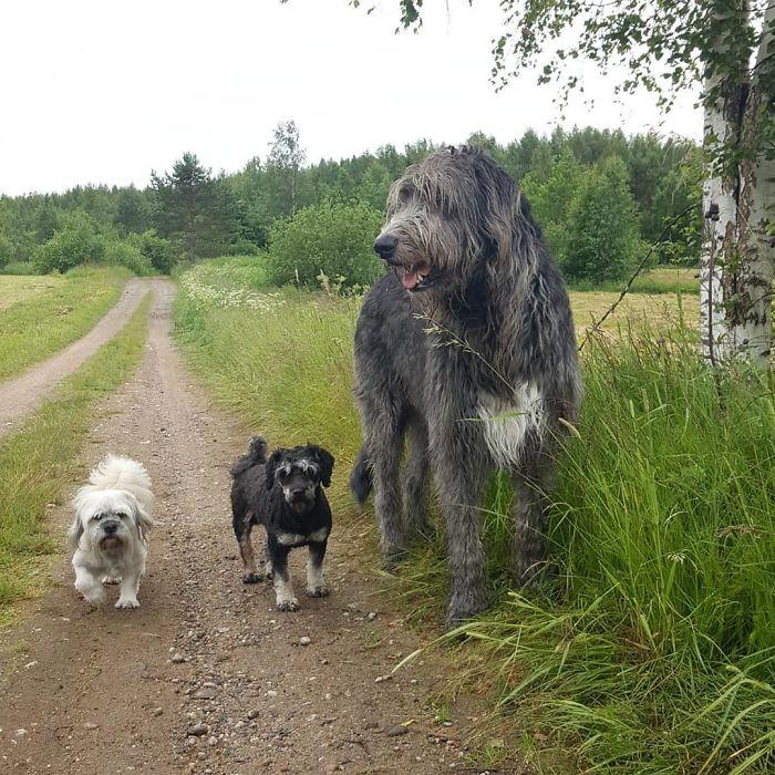 Emberi léptékkel FELFOGHATATLAN MÉRET: Íme, az ír farkaskutya!